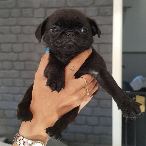 black pugs puppies for sale