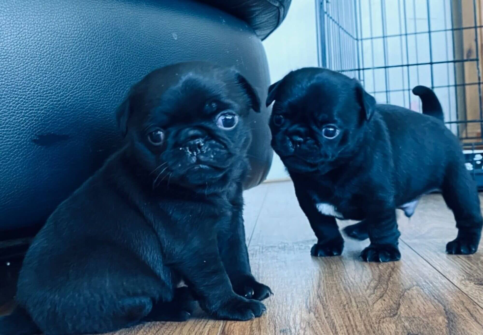 black puppy for sale near me