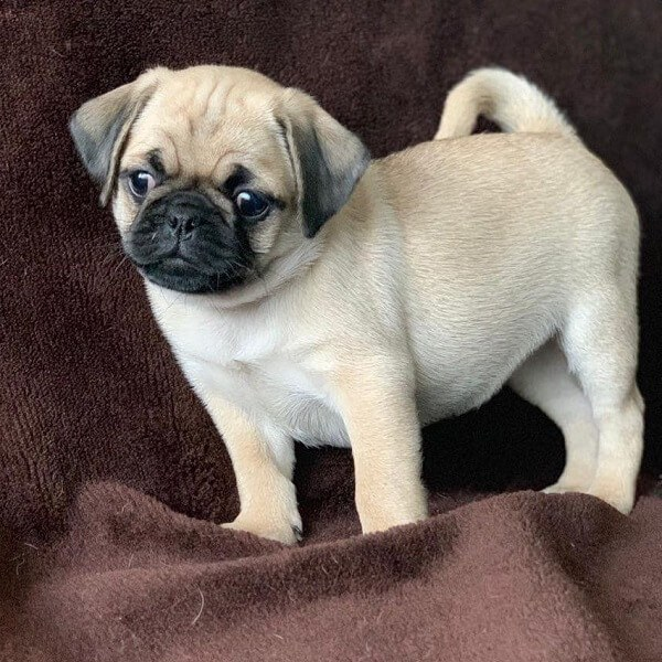 pugs puppies for sale near me