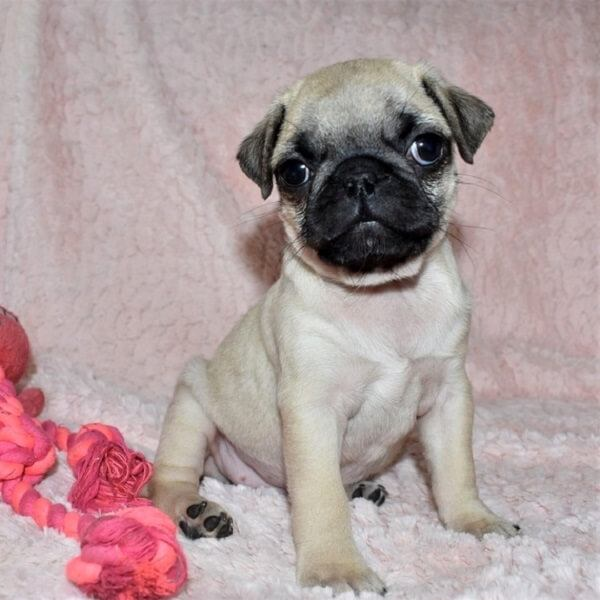 pugs puppy for sale near me